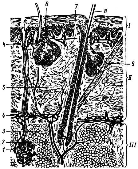 Рис. 1. Строение кожи и корня волос: I - надкожица, II - собственно кожа, III - подкожный слой; 1 - потовая железа, 2 - волосяной сосочек, 3 - волосяная луковица, 4 - кровеносные сосуды, 5 - эластичные волокна, 6 - сальная железа, 7 - нервные окончания, 8 - наружная часть волоса, 9 - мышцы